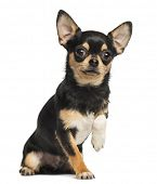 Chihuahua lifting a paw, looking at the camera, 8 months old, isolated on white
