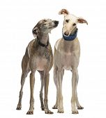 Two Spanish Galgo standing, 6 years old, isolated on white