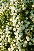 foto of meadowsweet  - White Spirea branch on green dark background - JPG