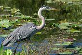 Great Blue Heron (Ardea herodias) Wading At Waters Edge