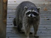 stock photo of raccoon  - The masked raccoon is a city bandit as well as a forest dweller.