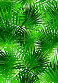 Tropical Cabbage palm.
