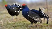 Two Lekking Black Grouses