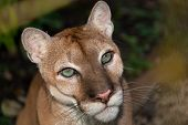 pic of cougar  - A close up portrait of a large male cougar or puma with green eyes - JPG