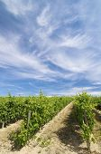 vineyard with clouds in Rioja