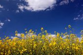foto of rape-field  - yellow rape field in front of blue summer sky - JPG