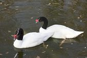 Pair Of Black Necked  Swans In The Autumn Lake