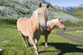 Two Haflinger Horses