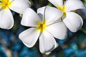 stock photo of frangipani  - Branch of tropical flowers frangipani (plumeria) for Spa & aromatherapy concept