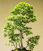 Japanese Beech Forest Bonsai Fagus Grenata 55 Years Old