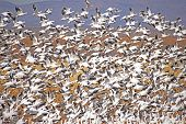 Snow Geese Blast off from cornfiel
