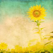 Sunflower in the field in grunge and retro style.