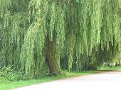 A Weeping Willow