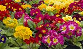 picture of primrose  - Many colorful primroses filling the entire picture - JPG