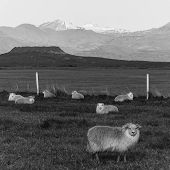 Icelandic Sheep In Black & White