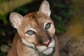 picture of cougar  - A close up portrait of a large male cougar or puma with green eyes - JPG