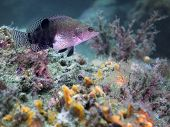 image of hawkfish  - A small Hawkfish hovers over its home on the algae and coral covered jetty rocks at the St - JPG