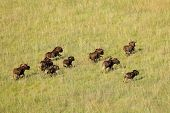 Aerial view of black wildebeest (Connochaetes gnou) running in grassland, South Africa