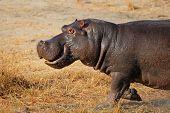 Aggressive hippopotamus (Hippopotamus amphibius) charging, South Africa