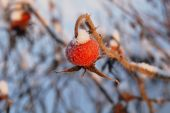 picture of dog-rose  - big red rose hips macro in winter - JPG
