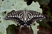 stock photo of lats  - Swallowtail butterfly  - JPG