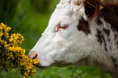 cow smelling the flowers