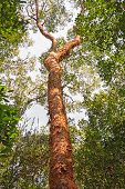 Gumbo-limbo Tree In The Forest