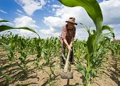 pic of hoe  - Old man with a hoe weeding in the corn field - JPG