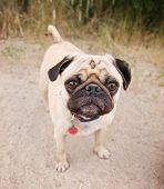 a pug on a walking path at a local nature park