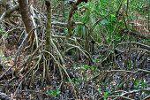 Red Mangrove trees