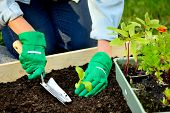 Close-up hands in gree gloves planting sprout