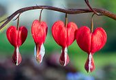 Red Bleeding Heart Flowers In A Row