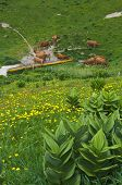 picture of annecy  - Herd of tarine cows at the watering hole in Semnoz mountain near Annecy Savoy France - JPG