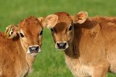 stock photo of calf  - Cute Jersey calves on a Westland farm in New Zealand