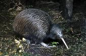 pic of australie  - North Island brown kiwi Apteryx australis searching for food in New Zealand bush setting - JPG