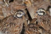 stock photo of quail  - Group of Northern Bobwhite Virginia Quail or Bobwhite Quail Colinus virginianus - JPG