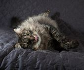 Fluffy Siberian Tabby Cat Lying And Licked On Quilt