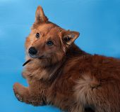 Ginger Thick Fluffy Dog Lies On Blue