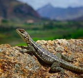 Lizard on the rock with mountains on the background. Madagascar