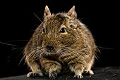 stock photo of hamster  - domestic fat degu hamster whole front view on black background - JPG