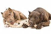 Two pit bull lying together gnaw rope