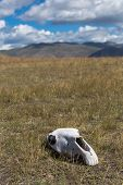 White, Old Skull Of An Animal In The Field On Grass