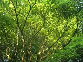 Oak Canopy