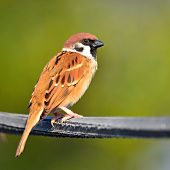 Eurasian Tree Sparrow Bird