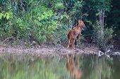 Asian Wild Dogs In Nature
