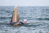 Bryde's Whale, Eden's Whale Eating Fish In The Gulf