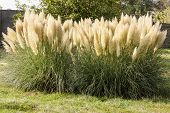 pic of pampas grass  - Pampas Grass plant growing in a garden - JPG