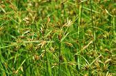 Thailand Green Grass In Wetland
