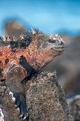 Part Of A Male Marine Iguana On Floreana, Galapagos, Ecuador