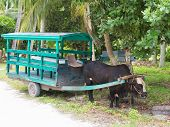 image of ox wagon  - Brown bull in a green wagon drawn by a tropical park in the Seychelles on the island of La Digue - JPG
